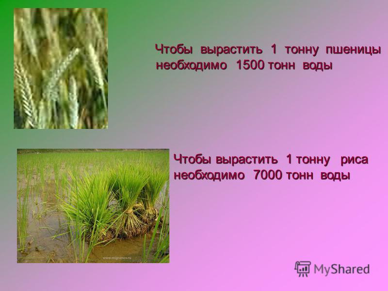 Чтобы вырастить 1 тонну пшеницы Чтобы вырастить 1 тонну пшеницы необходимо 1500 тонн воды необходимо 1500 тонн воды Чтобы вырастить 1 тонну риса необходимо 7000 тонн воды