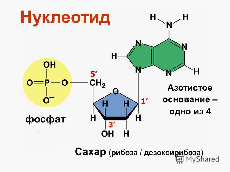 Нуклеотид фосфат Сахар (рибоза / дезоксирибоза) Азотистое основание – одно из 4 1 3 5