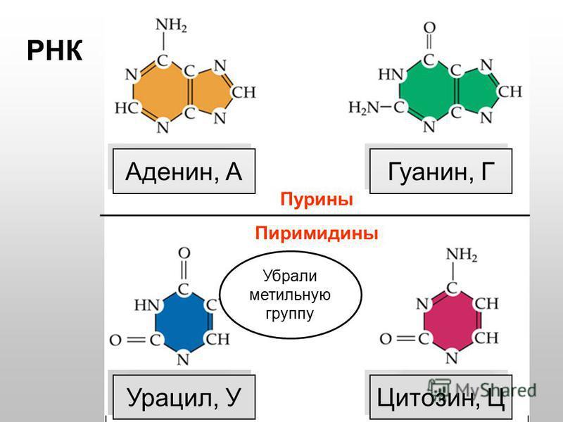 Пурины Пиримидины Тимин, Т Цитозин, Ц Аденин, А Гуанин, Г ДНК РНК Урацил, У Убрали метильную группу