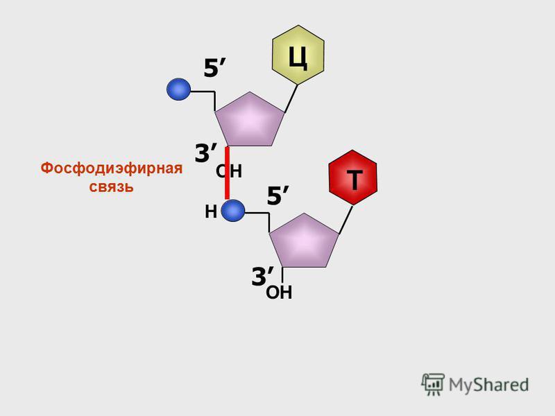 3 5 Ц ОН 3 5 Т Н Фосфодиэфирная связь
