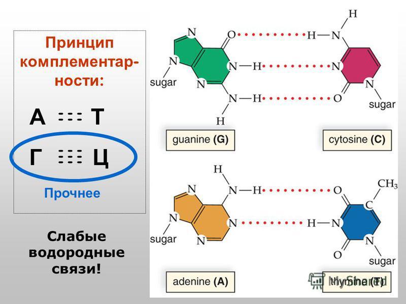 Принцип комплементарности : А Т Г Ц - - - Слабые водородные связи! Прочнее