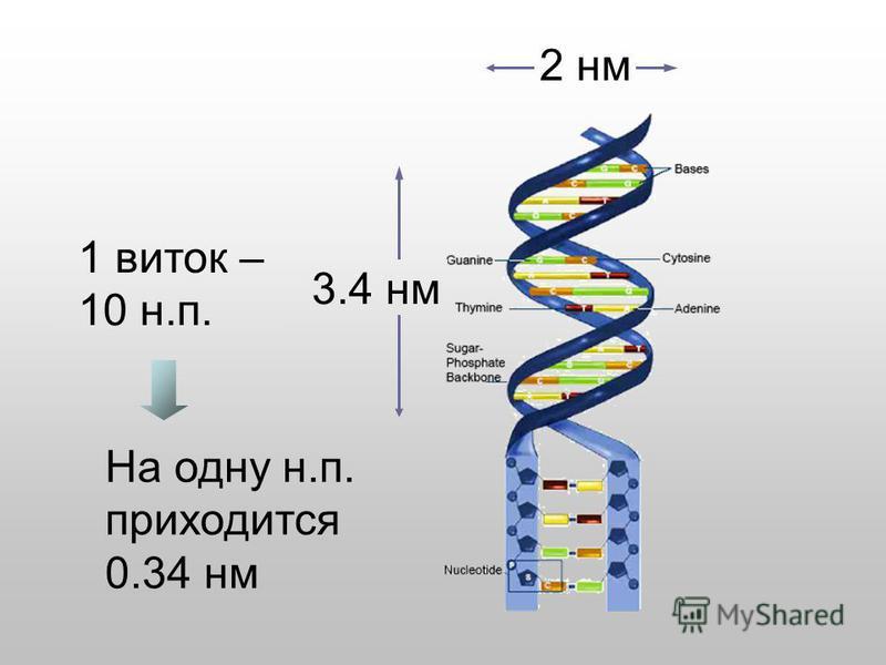 2 нм 3.4 нм 1 виток – 10 н.п. На одну н.п. приходится 0.34 нм