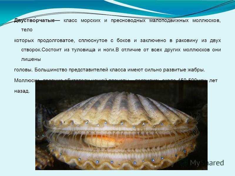 Двуство́рчатые класс морских и пресноводных малоподвижных моллюсков, тело которых продолговатое, сплюснутое с боков и заключено в раковину из двух створок.Состоит из туловища и ноги.В отличие от всех других моллюсков они лишены головы. Большинство пр