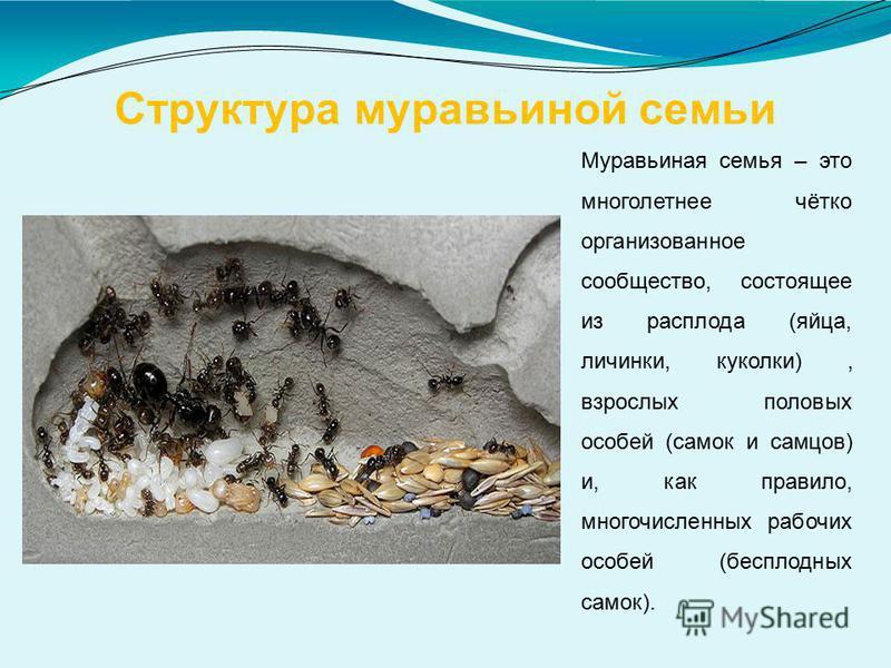 Структура муравьиной семьи Муравьиная семья – это многолетнее чётко организованное сообщество, состоящее из расплода (яйца, личинки, куколки), взрослых половых особей (самок и самцов) и, как правило, многочисленных рабочих особей (бесплодных самок).