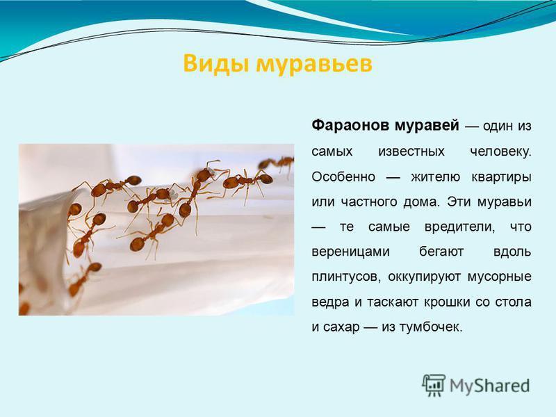 Виды муравьев Фараонов муравей один из самых известных человеку. Особенно жителю квартиры или частного дома. Эти муравьи те самые вредители, что вереницами бегают вдоль плинтусов, оккупируют мусорные ведра и таскают крошки со стола и сахар из тумбоче