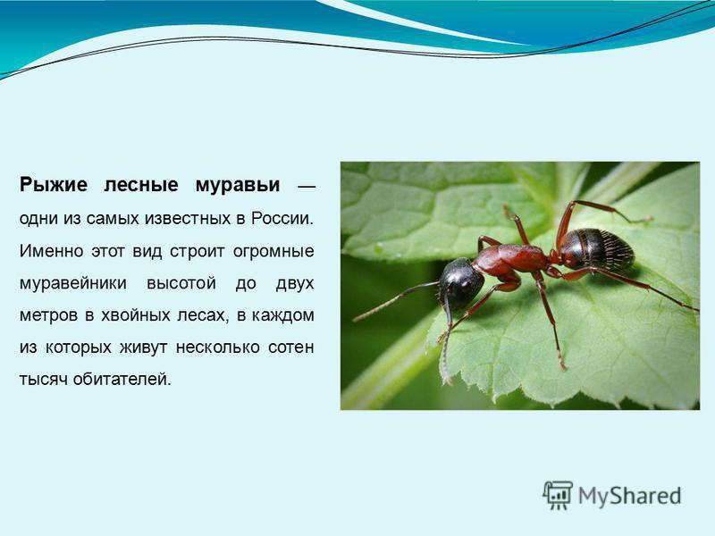 Рыжие лесные муравьи одни из самых известных в России. Именно этот вид строит огромные муравейники высотой до двух метров в хвойных лесах, в каждом из которых живут несколько сотен тысяч обитателей.