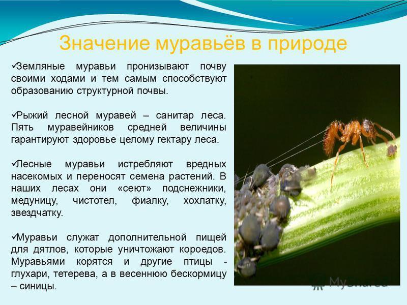 Значение муравьёв в природе Земляные муравьи пронизывают почву своими ходами и тем самым способствуют образованию структурной почвы. Рыжий лесной муравей – санитар леса. Пять муравейников средней величины гарантируют здоровье целому гектару леса. Лес