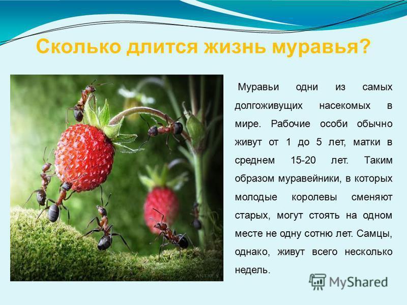 Сколько длится жизнь муравья? Муравьи одни из самых долгоживущих насекомых в мире. Рабочие особи обычно живут от 1 до 5 лет, матки в среднем 15-20 лет. Таким образом муравейники, в которых молодые королевы сменяют старых, могут стоять на одном месте