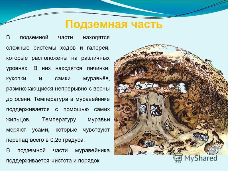 Подземная часть В подземной части находятся сложные системы ходов и галерей, которые расположены на различных уровнях. В них находятся личинки, куколки и самки муравьёв, размножающиеся непрерывно с весны до осени. Температура в муравейнике поддержива