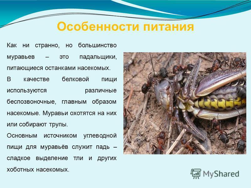 Особенности питания Как ни странно, но большинство муравьев – это падальщики, питающиеся останками насекомых. В качестве белковой пищи используются различные беспозвоночные, главным образом насекомые. Муравьи охотятся на них или собирают трупы. Основ