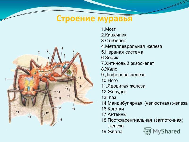 Строение муравья 1. Мозг 2. Кишечник 3. Стебелек 4. Металлевральная железа 5. Нервная система 6. Зобик 7. Хитиновый экзоскелет 8. Жало 9. Дюфорова железа 10. Ного 11. Ядовитая железа 12. Желудок 13Глаз 14. Мандибулярная (челюстная) железа 16. Коготки