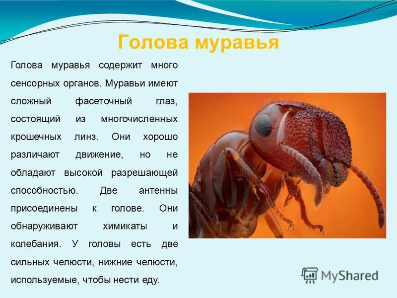 Голова муравья Голова муравья содержит много сенсорных органов. Муравьи имеют сложный фасеточный глаз, состоящий из многочисленных крошечных линз. Они хорошо различают движение, но не обладают высокой разрешающей способностью. Две антенны присоединен