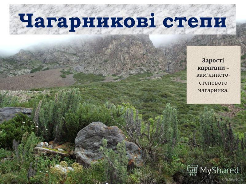 Чагарникові степи Зарості карагани – кам янисто - степового чагарника.