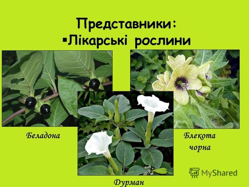 Представники: Лікарські рослини БеладонаБлекота чорна Дурман