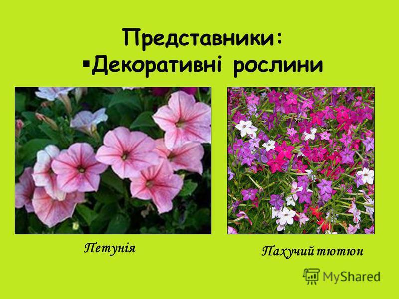 Представники: Декоративні рослини Петунія Пахучий тютюн