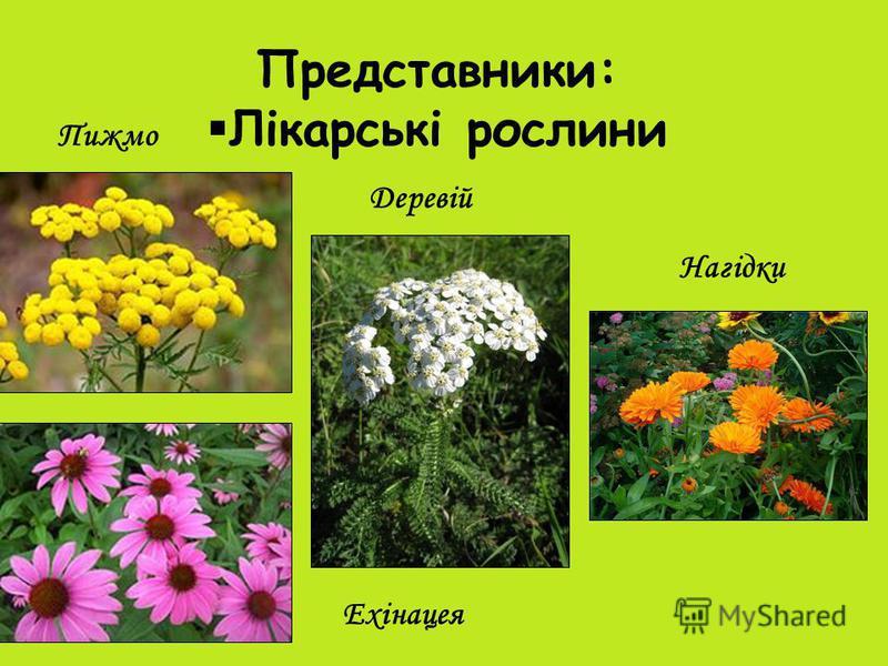 Представники: Лікарські рослини Пижмо Деревій Ехінацея Нагідки