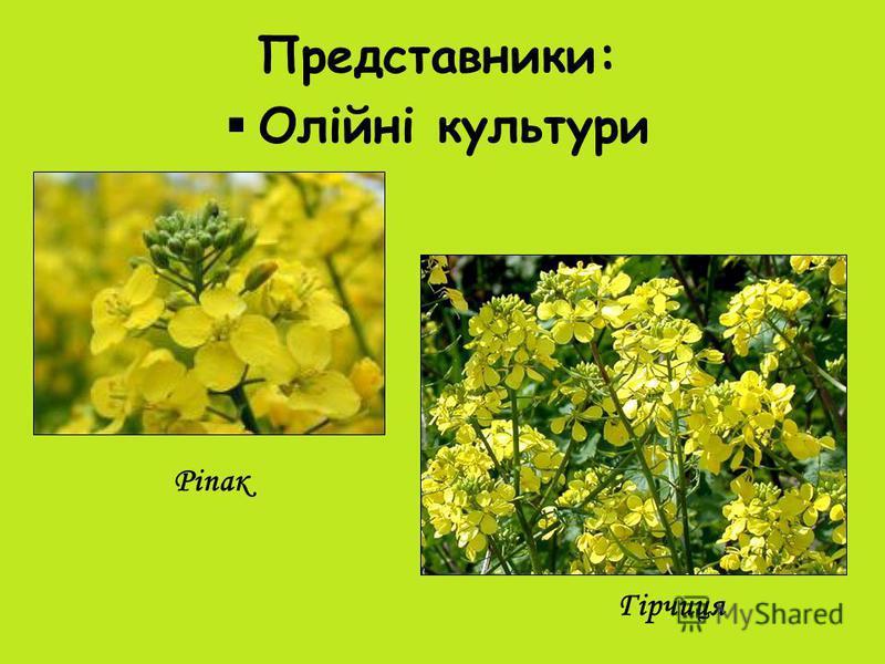 Представники: Олійні культури Ріпак Гірчиця