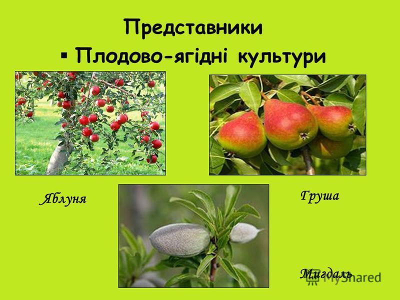 Представники Плодово-ягідні культури Яблуня Груша Мигдаль