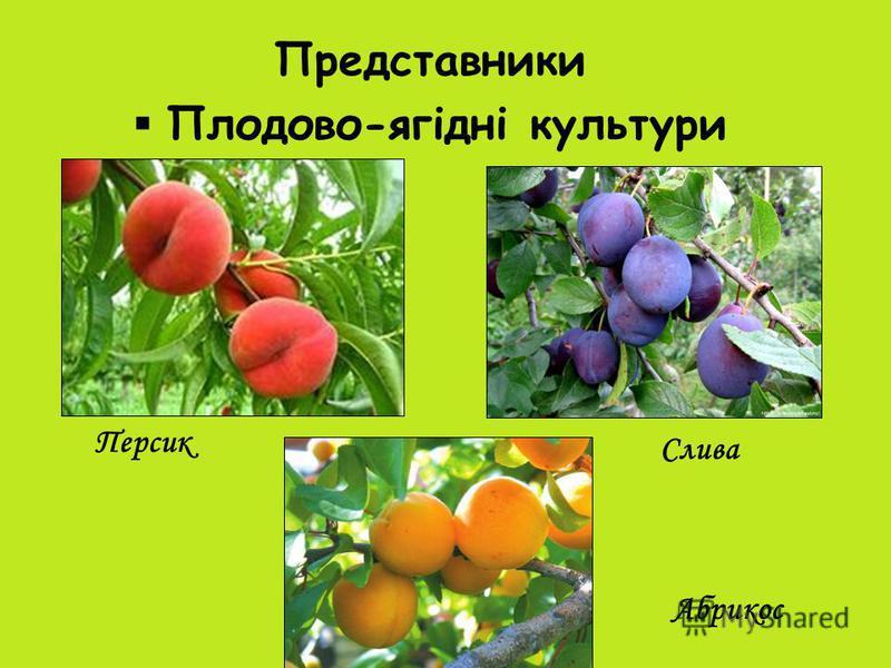 Представники Плодово-ягідні культури Персик Слива Абрикос