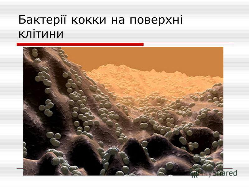 Бактерії кокки на поверхні клітини