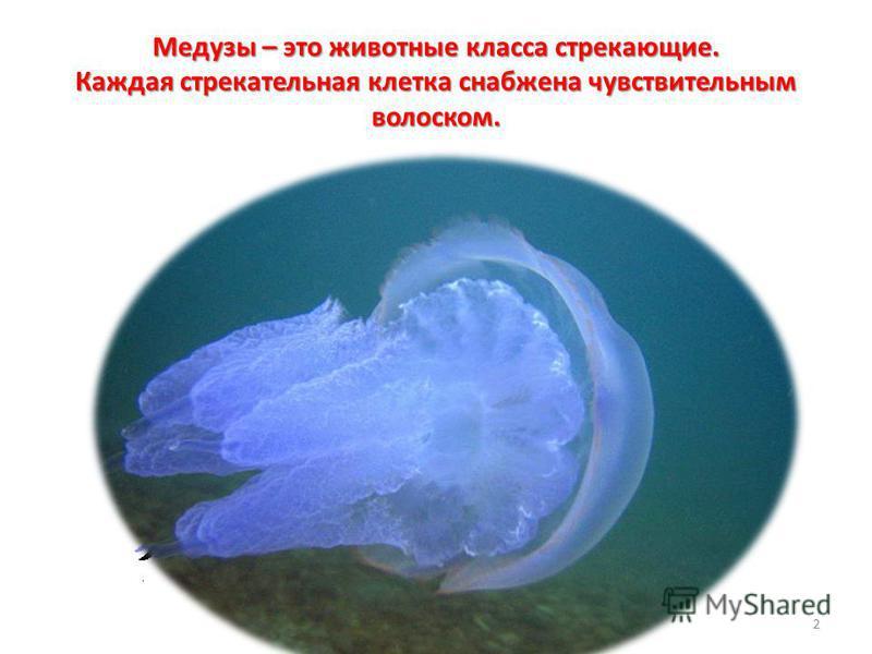 Медузы – это животные класса стрекающие. Каждая стрекательная клетка снабжена чувствительным волоском. 2