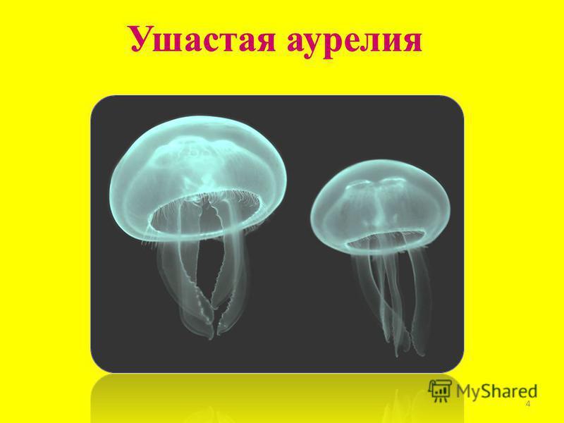 Ушастая аурелия 4