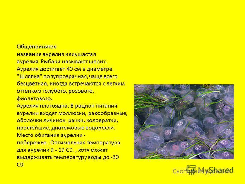 Скопление аурелий Общепринятое название аурелия или ушастая аурелия. Рыбаки называют штрих. Аурелия достигает 40 см в диаметре.