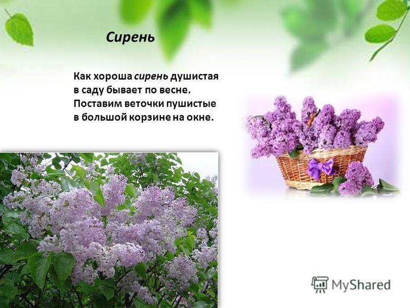 Как хороша сирень душистая в саду бывает по весне. Поставим веточки пушистые в большой корзине на окне. Сирень