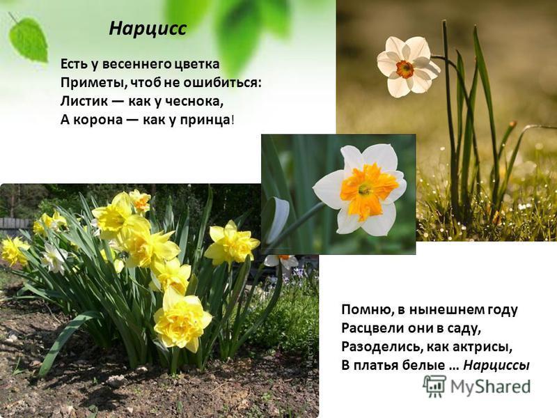 Есть у весеннего цветка Приметы, чтоб не ошибиться: Листик как у чеснока, А корона как у принца ! Помню, в нынешнем году Расцвели они в саду, Разоделись, как актрисы, В платья белые … Нарциссы Нарцисс