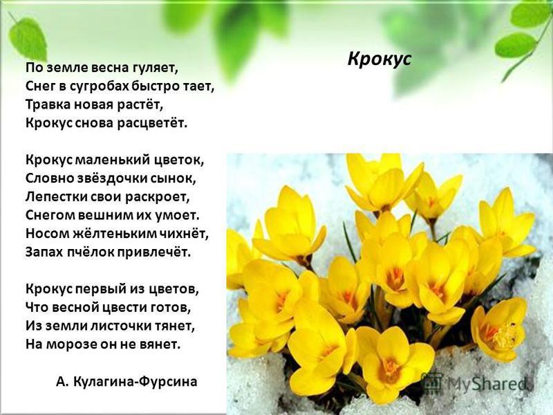 По земле весна гуляет, Снег в сугробах быстро тает, Травка новая растёт, Крокус снова расцветёт. Крокус маленький цветок, Словно звёздочки сынок, Лепестки свои раскроет, Снегом вешним их умоет. Носом жёлтеньким чихнёт, Запах пчёлок привлечёт. Крокус