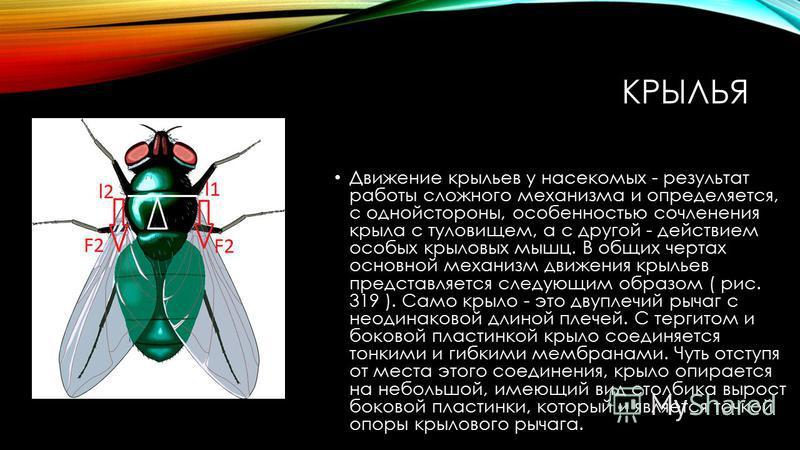 КРЫЛЬЯ Движение крыльев у насекомых - результат работы сложного механизма и определяется, с одной стороны, особенностью сочленения крыла с туловищем, а с другой - действием особых крыловых мышц. В общих чертах основной механизм движения крыльев предс