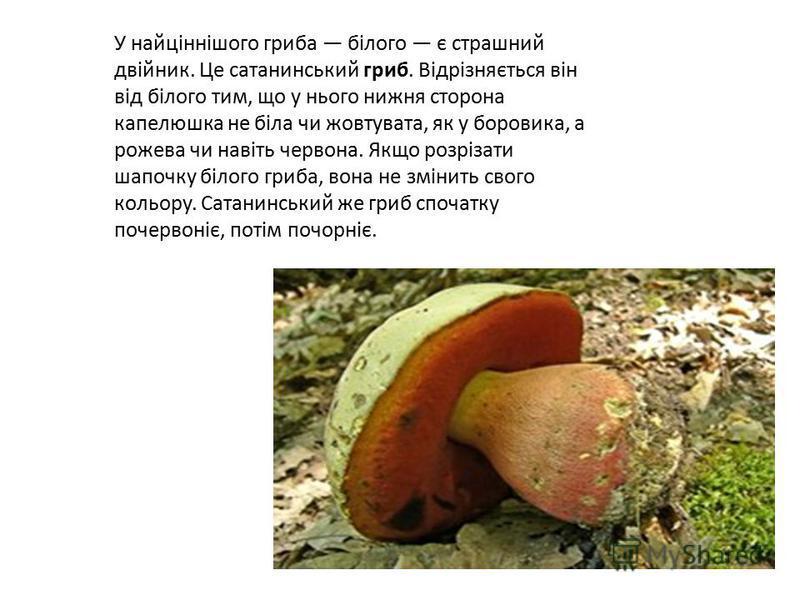 У найціннішого гриба білого є страшний двійник. Це сатанинський гриб. Відрізняється він від білого тим, що у нього нижня сторона капелюшка не біла чи жовтувата, як у боровика, а рожева чи навіть червона. Якщо розрізати шапочку білого гриба, вона не з