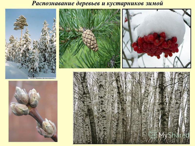 Распознавание деревьев и кустарников зимой
