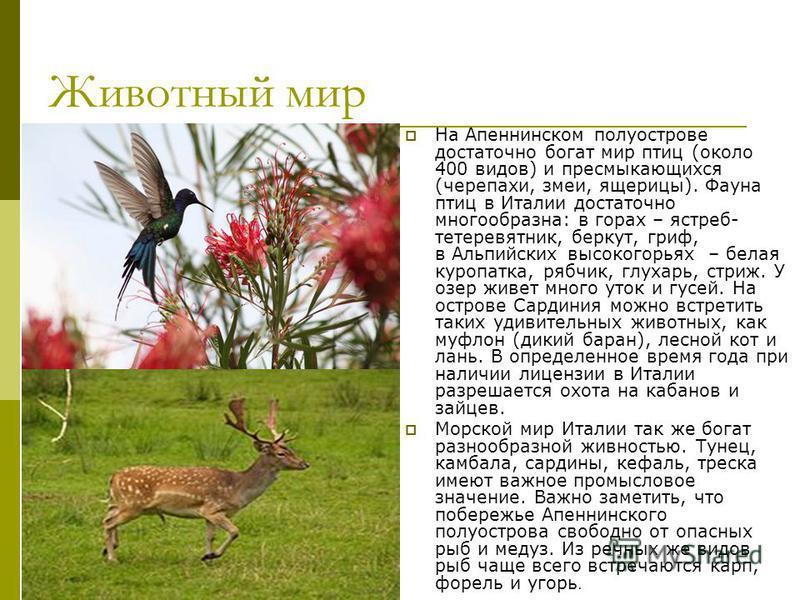 Животный мир На Апеннинском полуострове достаточно богат мир птиц (около 400 видов) и пресмыкающихся (черепахи, змеи, ящерицы). Фауна птиц в Италии достаточно многообразна: в горах – ястреб- тетеревятник, беркут, гриф, в Альпийских высокогорьях – бел
