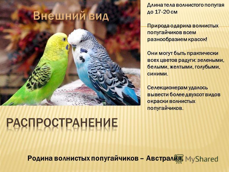 Длина тела волнистого попугая до 17-20 см Природа одарила волнистых попугайчиков всем разнообразием красок! Они могут быть практически всех цветов радуги: зелеными, белыми, желтыми, голубыми, синими. Селекционерам удалось вывести более двухсот видов