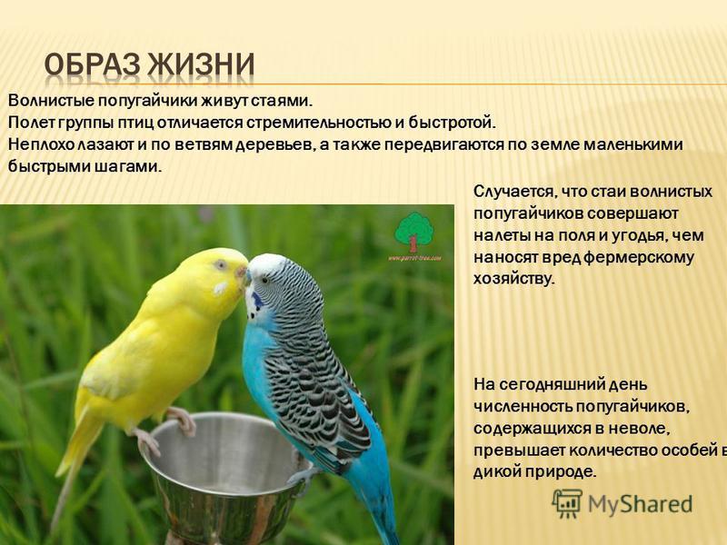 Волнистые попугайчики живут стаями. Полет группы птиц отличается стремительностью и быстротой. Неплохо лазают и по ветвям деревьев, а также передвигаются по земле маленькими быстрыми шагами. Случается, что стаи волнистых попугайчиков совершают налеты