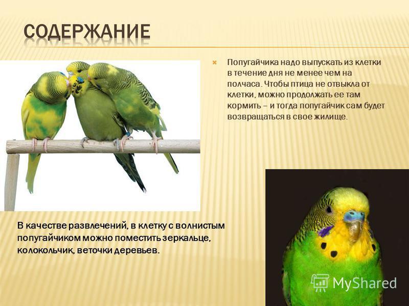 Попугайчика надо выпускать из клетки в течение дня не менее чем на полчаса. Чтобы птица не отвыкла от клетки, можно продолжать ее там кормить – и тогда попугайчик сам будет возвращаться в свое жилище. В качестве развлечений, в клетку с волнистым попу
