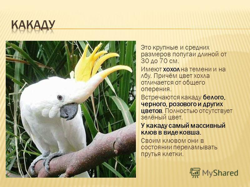 Это крупные и средних размеров попугаи длиной от 30 до 70 см. Имеют хохол на темени и на лбу. Причём цвет хохла отличается от общего оперения. Встречаются какаду белого, черного, розового и других цветов. Полностью отсутствует зелёный цвет. У какаду