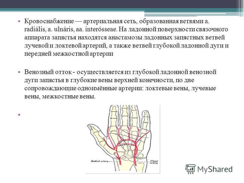 Кровоснабжение артериальная сеть, образованная ветвями a. radiális, a. ulnáris, aa. interósseae. На ладонной поверхности связочного аппарата запястья находятся анастомозы ладонных запястных ветвей лучевой и локтевой артерий, а также ветвей глубокой л