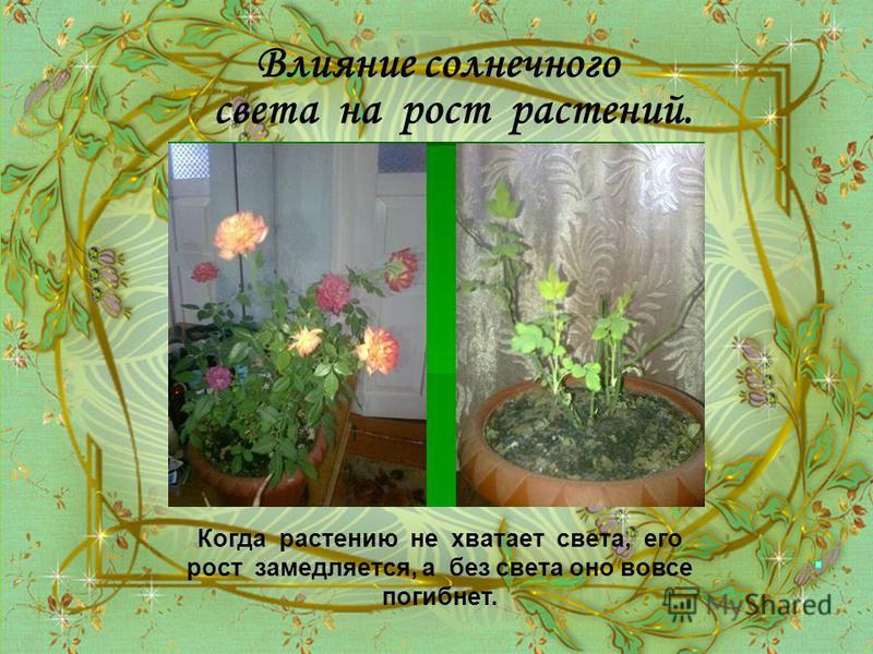 Влияние солнечного света на рост растений. Когда растению не хватает света, его рост замедляется, а без света оно вовсе погибнет.