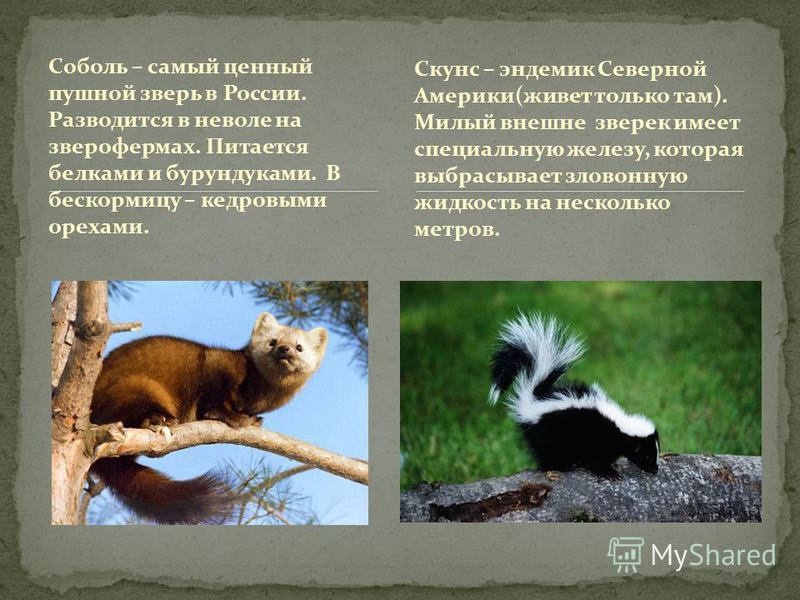 Соболь – самый ценный пушной зверь в России. Разводится в неволе на зверофермах. Питается белками и бурундуками. В бескормицу – кедровыми орехами. Скунс – эндемик Северной Америки(живет только там). Милый внешне зверек имеет специальную железу, котор