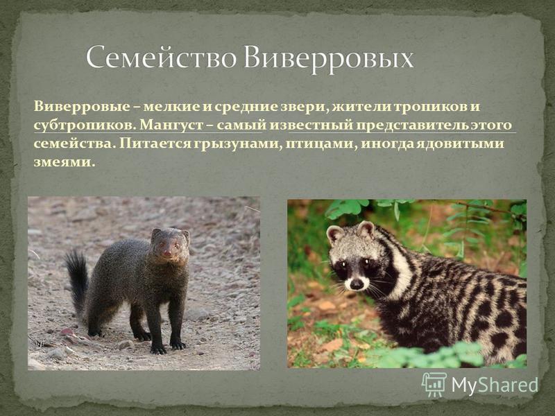 Виверровые – мелкие и средние звери, жители тропиков и субтропиков. Мангуст – самый известный представитель этого семейства. Питается грызунами, птицами, иногда ядовитыми змеями.