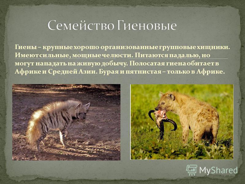 Гиены – крупные хорошо организованные групповые хищники. Имеют сильные, мощные челюсти. Питаются падалью, но могут нападать на живую добычу. Полосатая гиена обитает в Африке и Средней Азии. Бурая и пятнистая – только в Африке.
