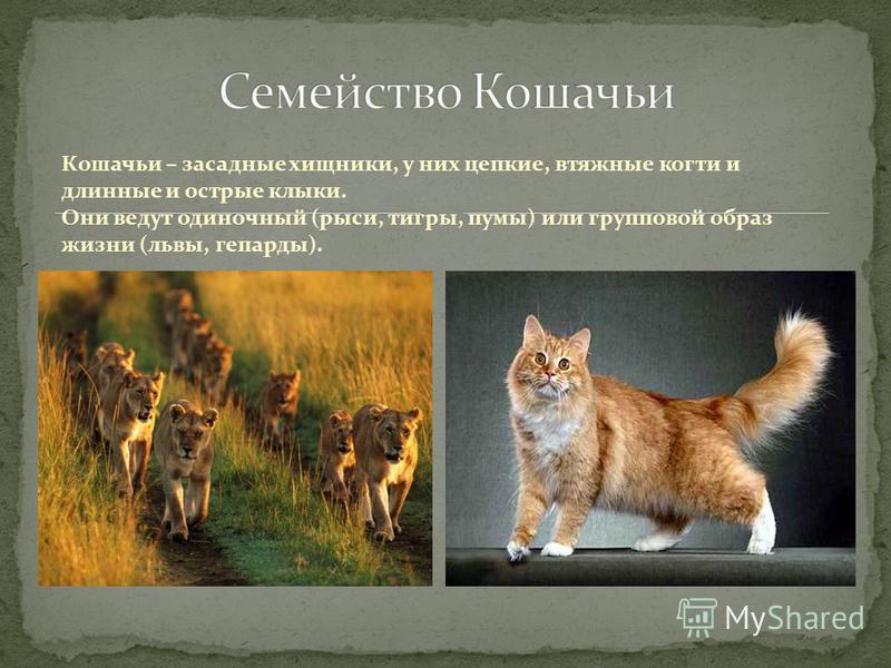 Кошачьи – засадные хищники, у них цепкие, втяжные когти и длинные и острые клыки. Они ведут одиночный (рыси, тигры, пумы) или групповой образ жизни (львы, гепарды).