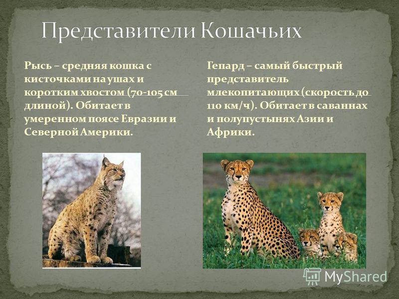 Рысь – средняя кошка с кисточками на ушах и коротким хвостом (70-105 см длиной). Обитает в умеренном поясе Евразии и Северной Америки. Гепард – самый быстрый представитель млекопитающих (скорость до 110 км/ч). Обитает в саваннах и полупустынях Азии и