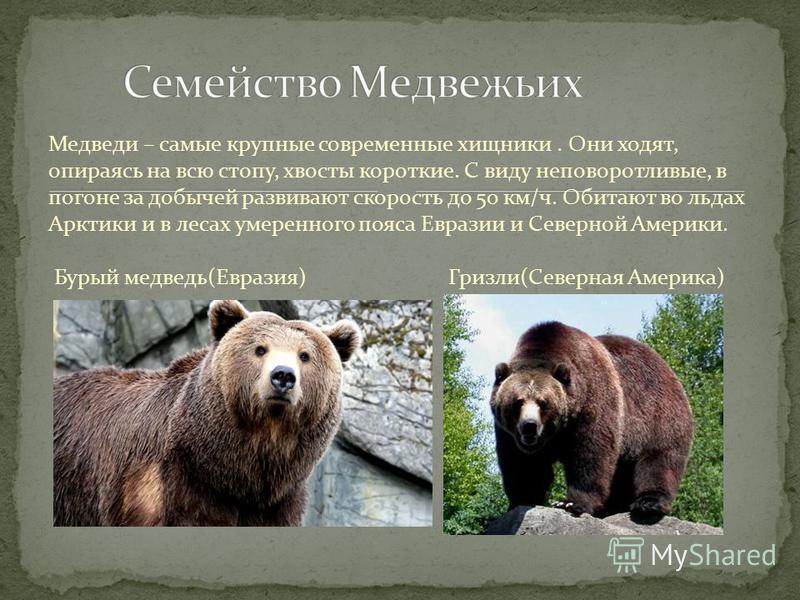 Медведи – самые крупные современные хищники. Они ходят, опираясь на всю стопу, хвосты короткие. С виду неповоротливые, в погоне за добычей развивают скорость до 50 км/ч. Обитают во льдах Арктики и в лесах умеренного пояса Евразии и Северной Америки.