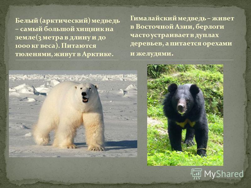 Белый (арктический) медведь – самый большой хищник на земле(3 метра в длину и до 1000 кг веса). Питаются тюленями, живут в Арктике. Гималайский медведь – живет в Восточной Азии, берлоги часто устраивает в дуплах деревьев, а питается орехами и желудям