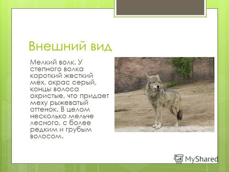 Внешний вид Мелкий волк. У степного волка короткий жесткий мех, окрас серый, концы волоса охристые, что придает меху рыжеватый оттенок. В целом несколько мельче лесного, с более редким и грубым волосом.
