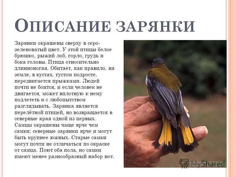 О ПИСАНИЕ ЗАРЯНКИ Зарянки окрашены сверху в серо- зеленоватый цвет. У этой птицы белое брюшко, рыжий лоб, горло, грудь и бока головы. Птица относительно длинноногая. Обитает, как правило, на земле, в кустах, густом подросте, передвигается прыжками. Л