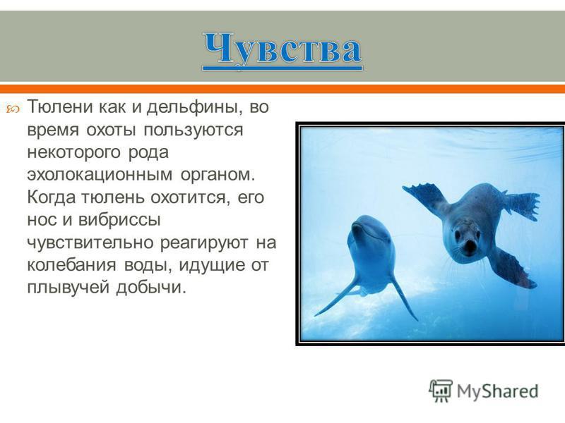 Тюлени как и дельфины, во время охоты пользуются некоторого рода эхолокационным органом. Когда тюлень охотится, его нос и вибриссы чувствительно реагируют на колебания воды, идущие от плывучей добычи.